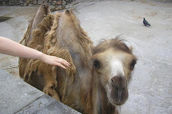 Плешивый верблюд.