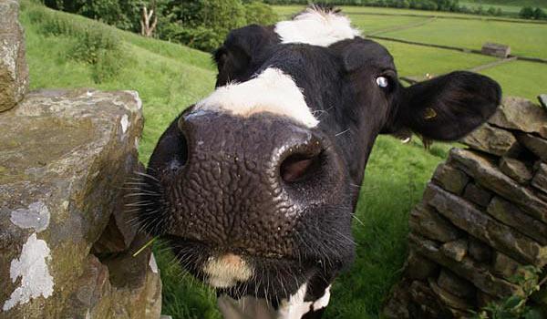 Продается корова с родословной