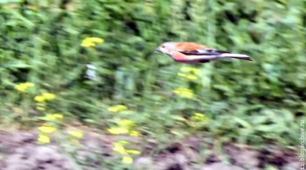 Летящая птица с красной грудкой.