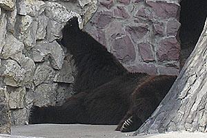 Бастующий бурый медведь в Московском зоопарке.