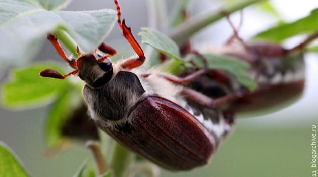 Майский жук повышенной меховитости.