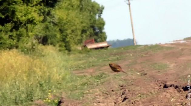 Летящая птица, похожая на летящего суслика.